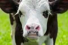 Portrait der kleinen Kuh auf Wiese Lizenzfreie Stockbilder