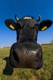 Portrait der Kuh Lizenzfreie Stockbilder