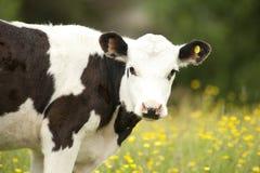 Portrait der Kuh Stockfoto