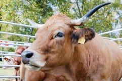 Portrait der Kuh Stockbild