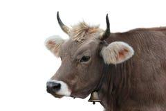 Portrait der Kuh Lizenzfreie Stockfotos