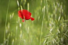 Portrait der Mohnblume auf grünem Feld Stockfotos