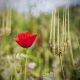 Portrait der Mohnblume auf grünem Feld Lizenzfreies Stockfoto