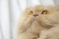 Portrait der persischen Katze Lizenzfreies Stockbild