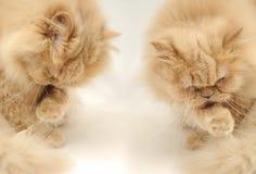 Portrait der persischen Katze Lizenzfreies Stockfoto