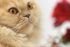 Portrait der persischen Katze Lizenzfreie Stockfotografie