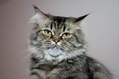 Portrait der persischen Katze Lizenzfreie Stockfotos