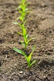Portrait der Reihe der grünen Maispflanze, die in einem f wächst Lizenzfreie Stockfotos