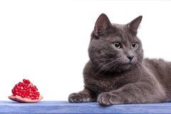 Portrait der russischen blauen Katze auf blauem hölzernem Vorstand Stockfotos