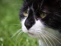 Portrait der Schwarzweiss-Katze Lizenzfreies Stockfoto