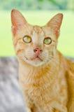 Portrait der siamesischen Katze Stockfoto