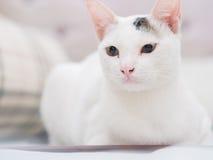 Portrait der weißen Katze Lizenzfreies Stockbild