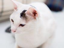Portrait der weißen Katze Lizenzfreies Stockfoto