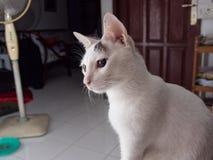 Portrait der weißen Katze Lizenzfreie Stockbilder