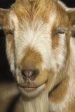 Portrait der Ziege Lizenzfreies Stockfoto