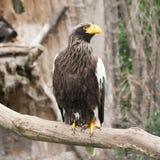 Portrait des Adlers stockfotos