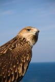Portrait des Adlers Lizenzfreie Stockbilder
