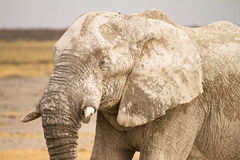 Portrait des afrikanischen Elefanten lizenzfreie stockfotos