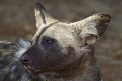 Portrait des afrikanischen wilden Hundes Stockfoto