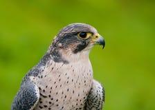 Portrait des ausländischen Falken lizenzfreies stockfoto