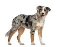 Portrait des australischen Schäferhunds Lizenzfreies Stockfoto