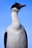 Portrait des blauäugigen Vogels Stockfoto