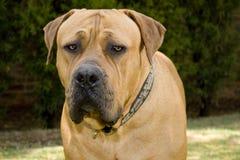 Portrait des boerboel Hundes Lizenzfreie Stockfotos