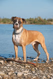 Portrait des Boxerhundes Stockbild