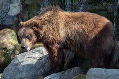Portrait des braunen Bären Lizenzfreies Stockfoto