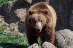 Portrait des braunen Bären Stockbilder