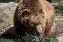 Portrait des braunen Bären Stockbild