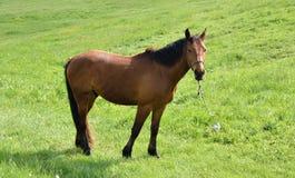 Portrait des braunen Pferds Lizenzfreie Stockfotos