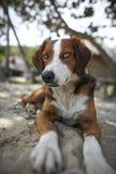 Portrait des braunen und weißen Hundes Lizenzfreies Stockbild