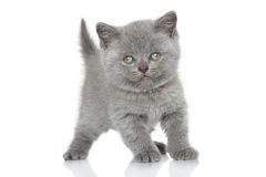 Portrait des britischen Shorthair Kätzchens Lizenzfreie Stockfotografie