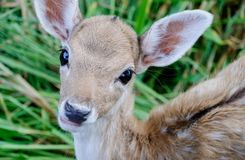 Portrait des cerfs communs Photo stock
