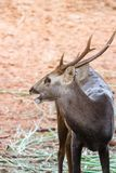 Portrait des cerfs communs Images stock