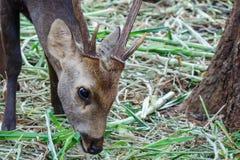 Portrait des cerfs communs Photos libres de droits
