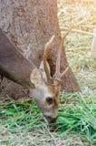 Portrait des cerfs communs Photographie stock libre de droits