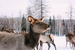 Portrait des cerfs communs rouges adultes majestueux dans la forêt d'hiver Photographie stock