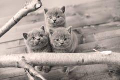 Portrait des chatons des Anglais Shorthair parmi des branches Photos stock