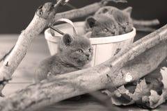 Portrait des chatons des Anglais Shorthair parmi des branches Image libre de droits