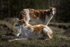 Portrait des chiens de lévrier photos stock