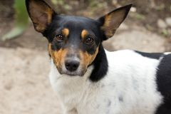 Portrait des chiens métis Photo stock