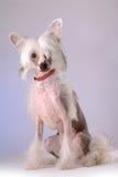 Portrait des chinesischen mit Haube Hundes Lizenzfreies Stockfoto