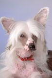 Portrait des chinesischen mit Haube Hundes Stockbild