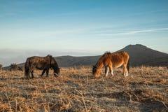 Portrait des couples du beau pottok Basque de cheval en montagnes de campagne dans le pays Basque, France Image libre de droits