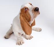 Portrait des Dachshund-haund Welpen Lizenzfreies Stockfoto