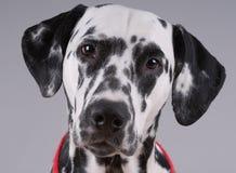 Portrait des Dalmatiners Stockfotografie