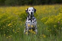 Portrait des Dalmatiners auf Wiese Lizenzfreie Stockfotos