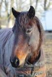 Portrait des dunklen Pferds Stockbild